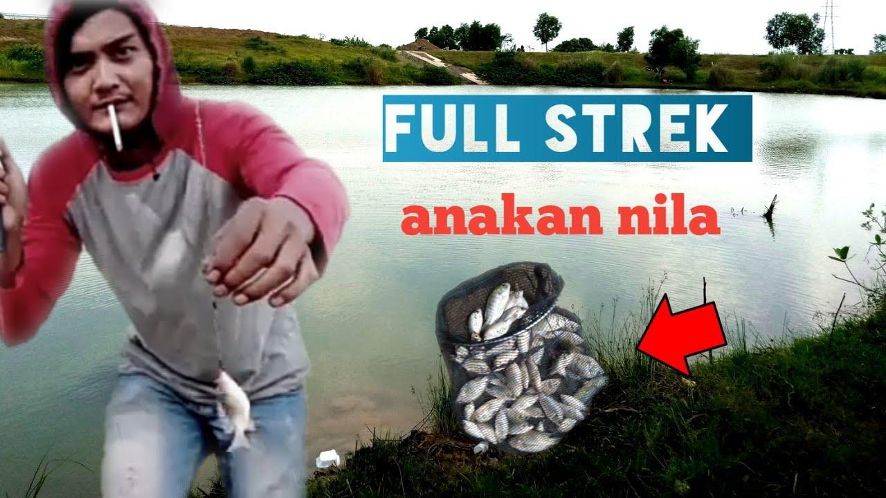 Umpan Mancing Ikan Nila Liar
