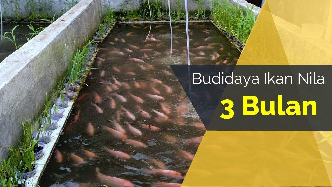 Cara Budidaya Ikan Nila Di Kolam - InfoAkuakultur.com