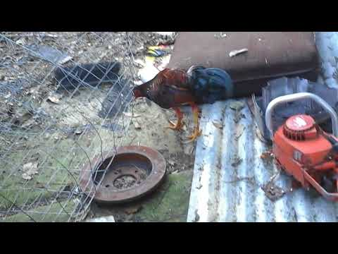 roosters - YouTube