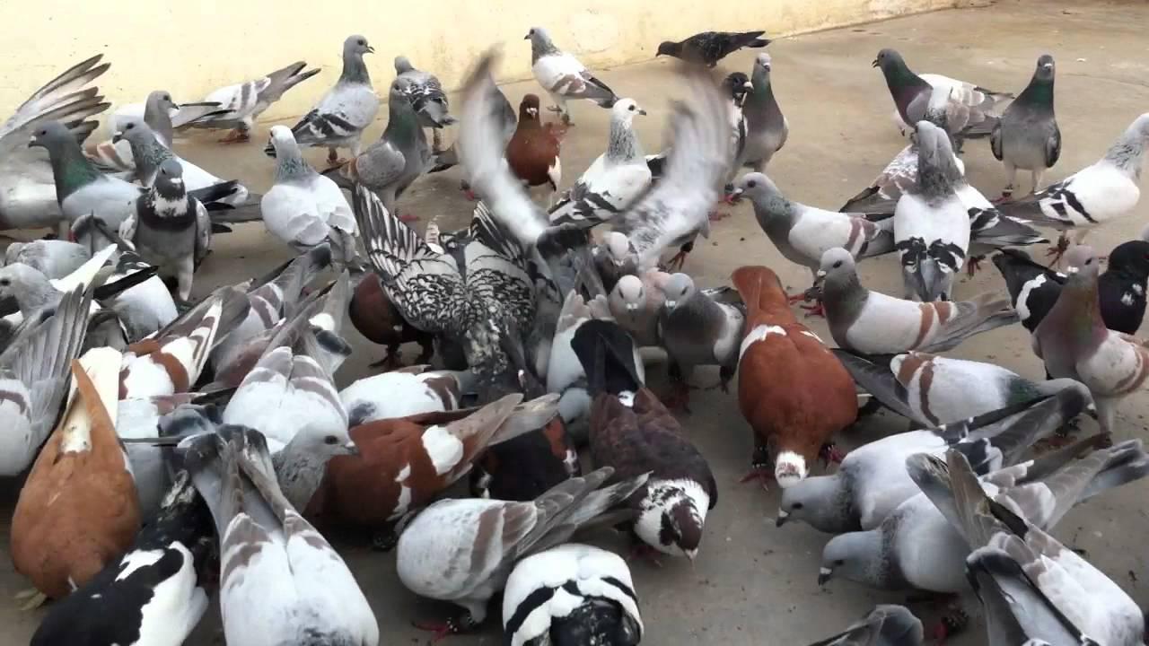 karachi pigeon