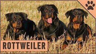 Rottweiler Dog Breed Information