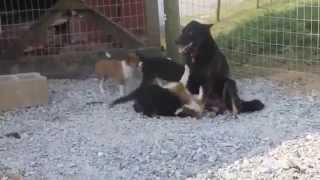 German Shepherd Sheltie Mixed Puppies For Sale