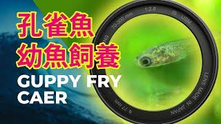 孔雀魚生產後 幼魚飼養  | Guppy Fry Care (iPhone Macro 微距)