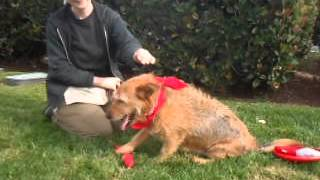 Tiger - Cute & Handsome Obedience Trained Border Terrier / Airdale Terrier For Adoption