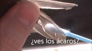 Como muestrear ácaros de las plumas