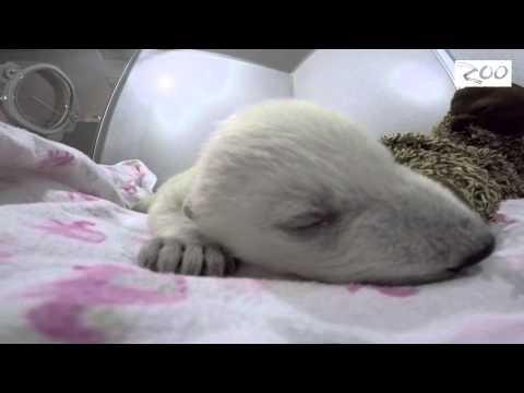Un cachorro de oso polar es furor por sus ronquidos