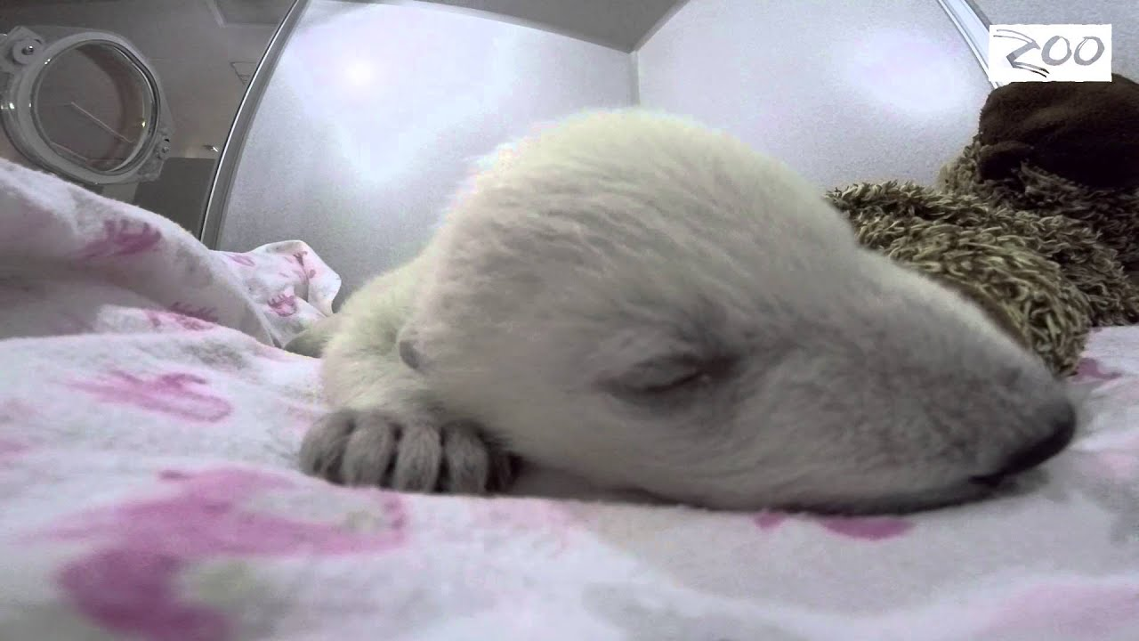 Baby polar bear sleeping - photo#20