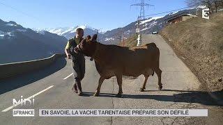 ANIMAUX : En Savoie, la vache Tarentaise prépare son défilé