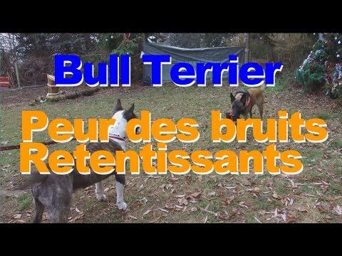 Bull Terrier chien craintif ou peureux ?
