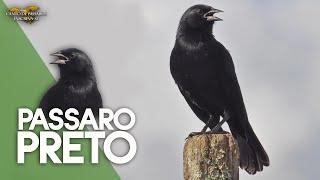 Pássaro Preto Canto Mateiro Mineiro (Graúna) 1 Hora de Canto !!!