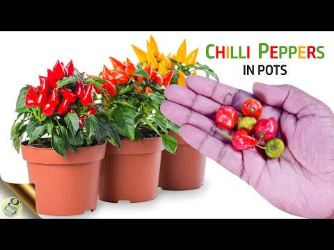 HOW TO GROW LOTS OF CHILLI PEPPERS | GROWING CHILLI PEPPERS IN POTS