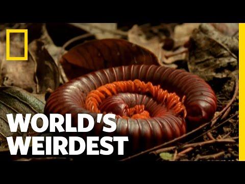 Millipede Mustard Repellent | World's Weirdest