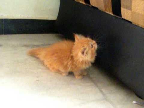 PERSIAN KITTENS FOR SALES IN CHENNAI