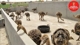 Amazing Ostrich Farming, How to Hatch Ostrich Eggs?, How to Raise Ostrich Chicks?, Modern Poultry