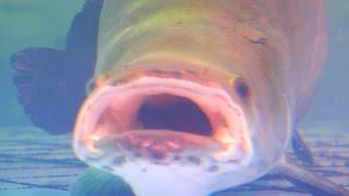 Cá Hải Tượng Long 260kg 20 năm tuổi ở Việt Nam