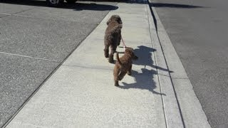 Tandem Leash Walking A Puppy- Standard Poodle Walking An Mini Aussiedoodle Puppy