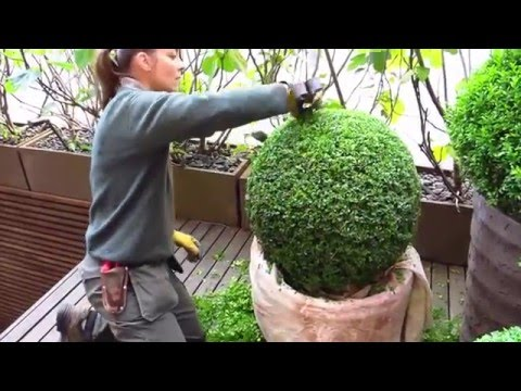 The London Gardener - Topiary (Buxus/Box Clipping)