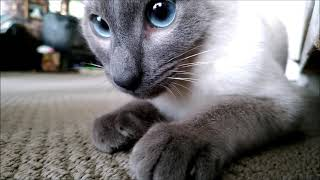 Tonkinese kitten playing fetch