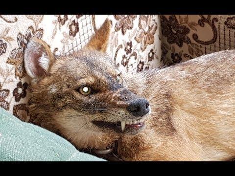 هذا الحيوان خطير وخبيث جدا على الانسان والحيوانات مع جمال العمواسي