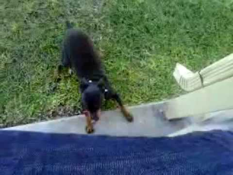 jumping dog tries to catch lemons