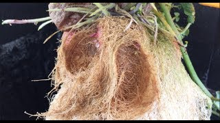Dangerous Plant Grows Without Soil