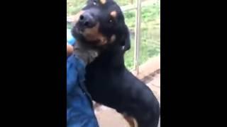 Rottweiler LEO - ein gutmütiger Kerl!