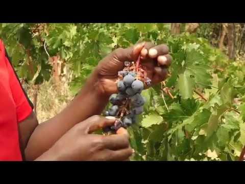 Grapes Farming in Kenya Promo
