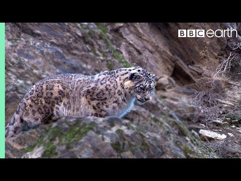 Snow Leopard: First Intimate Images In The Wild - Planet Earth - BBC Earth