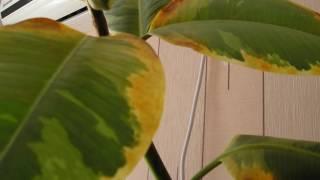 Почему желтеют листья у фикуса