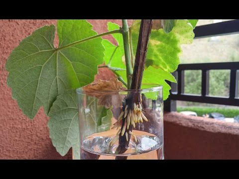 Growing California Wild Grape Cuttings for 8 Months