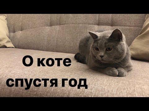 Как ухаживать за британским котом