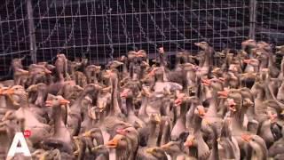 Duizenden ganzen vergast rond Schiphol