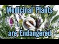 Medicinal Plants are Endangered and What You Can Do to Protect these Endangered Plants
