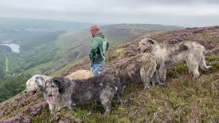 Austonley Irish Wolfhounds - This is what it's all about.  Out with the hounds.