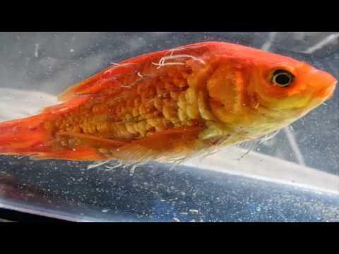Enfermedad y medicamento para los peces youtube for Enfermedades de peces goldfish