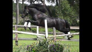 The Horse Behind the Door - Arabo Friesian Stallion Dark Tiesto
