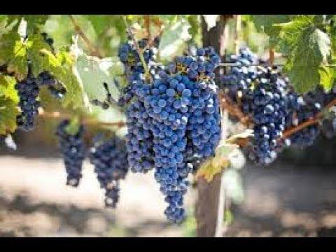 Tips on Grape cultivation-ದ್ರಾಕ್ಷಿ ಕಲ್ಟವೇಶನ  Drakshi-kannada