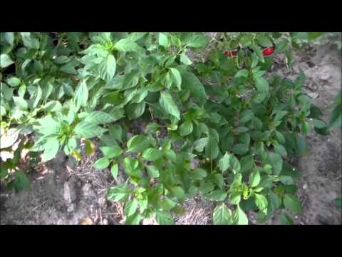 Grow More Peppers, Grow food close together, Garden Update