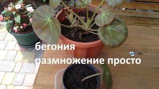 Бегония . Размножение листом.Легко и просто.