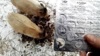 Профилактика и лечение свиней от глистов.