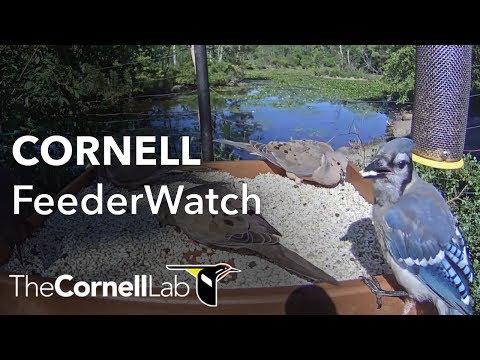 Cornell Lab FeederWatch Cam at Sapsucker Woods