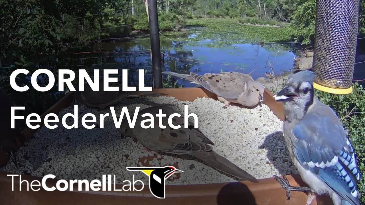 Cornell Lab FeederWatch Cam at Sapsucker Woods