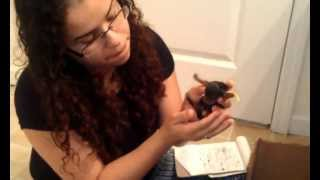 Dannypups.com - Puppy Video Log 1 - 10/14/2012 - Yorkshire Terriers