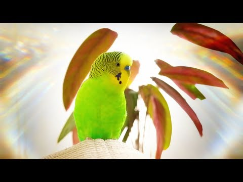 Budgie singing for 1 Hour Happy song!