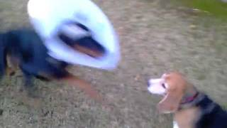 Doberman Pinscher Attacks With Cone Head... Funny