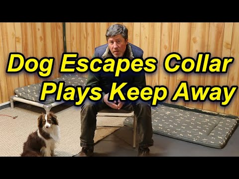 Dogs escapes collar, plays keep away
