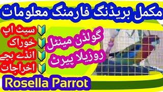 Rosella Farming l Eastern Rosella Breeding Information l Golden Mantle Rosella Parrot Breeding Tips
