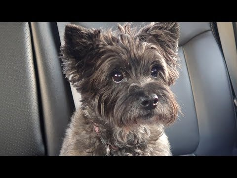 💗 Maddie the Cairn Terrier 💗