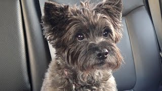 Maddie the Cairn Terrier