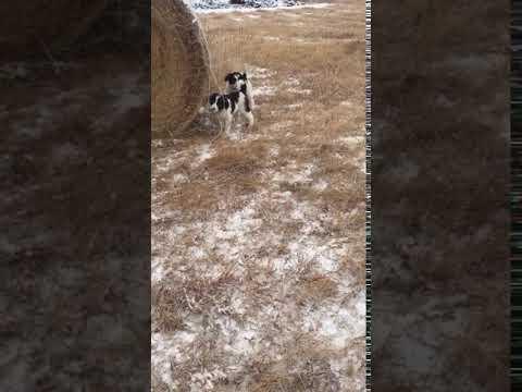 Simon and Teddy, Bordoodle Puppies